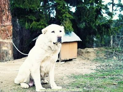 Видео собачьих боев алабая против волка - варварство или тест на силу и мужество?
