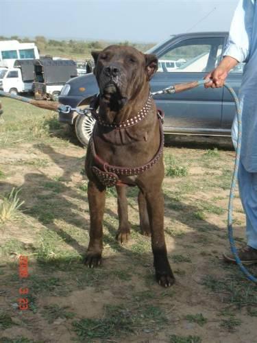 Persian Sarabi Dogs For Sale