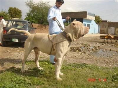 Булли кутта (индийский, синдский, или пакистанский мастиф) S59748